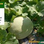 Buah Melon Gede-Gede Hasil Panen Meningkat Tajam