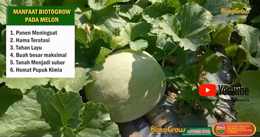 Buah Melon Gede-Gede hasil panen melimpah