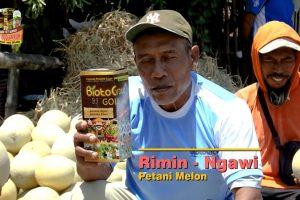 Hampir Gagal Panen Melon Gede-Gede Hasil Meningkat