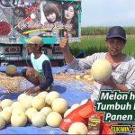 Melon Hampir Mati Kembali Sehat Dan Hasil Melimpah