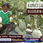Petani Melon Wajib Tahu! Begini Cara Agar Budidaya Melon Sukses!